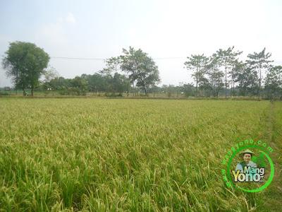 FOTO 2 :  Padi TRISAKTI 66 HST MT2 Di Tegalsungsang Blok Timur   Sudah Matang Adonan.