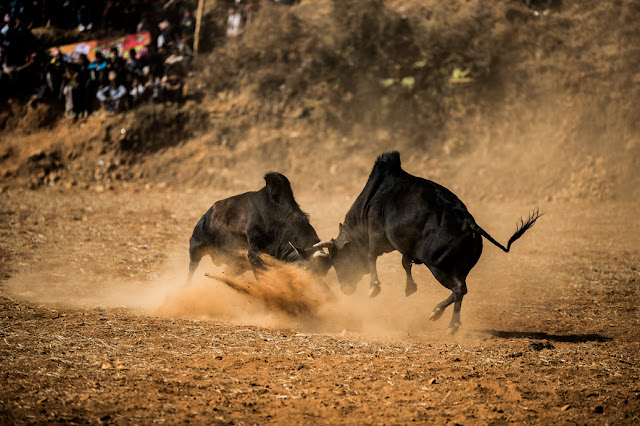 Bull Fighting in Taruka Nuwakot
