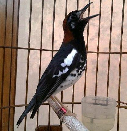 Birds Anis Kembang Characteristics And How To Distinguish Anis Kembang Males And Females Of His Behavior