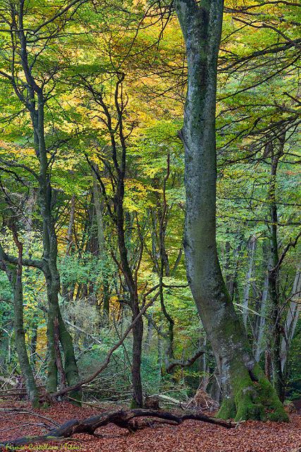 Bosque de hayas al inicio del otoño