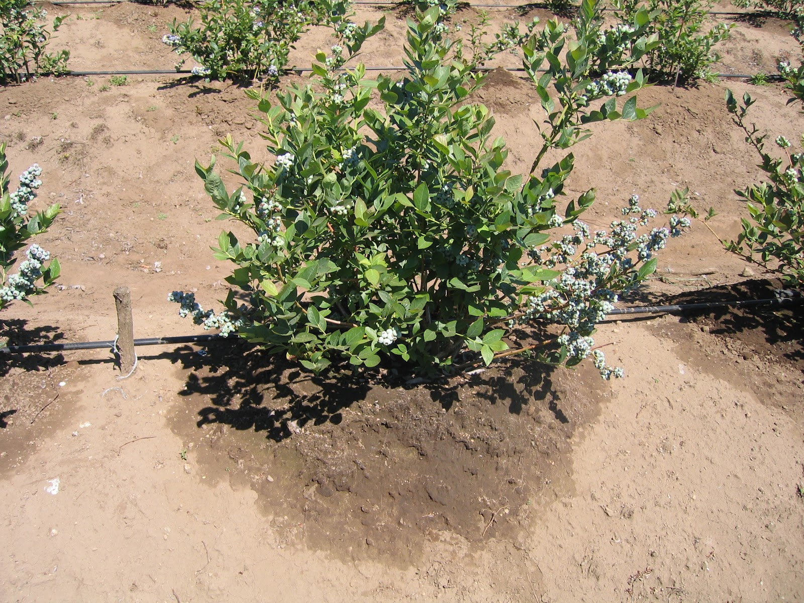 The NC Blueberry Journal: Blueberry Irrigation Methods