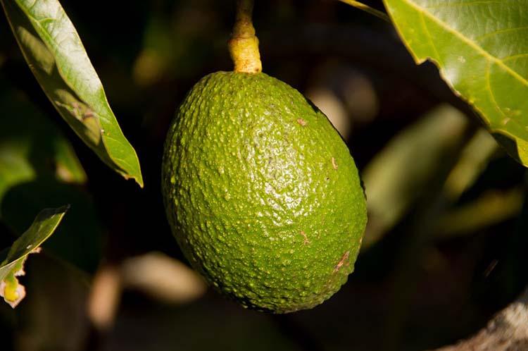 Menggunakan Avocado Sebagai Obat Herbal