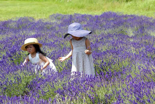 cánh đồng hoa oải hương đẹp nhất thế giới 14