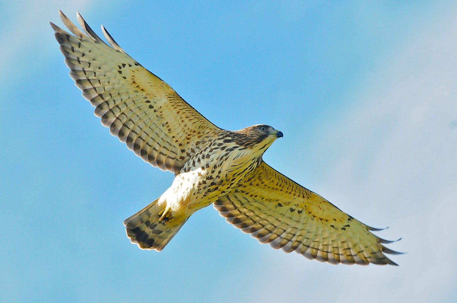 Raptor and non-raptor count summary September 8-14 : Hawk