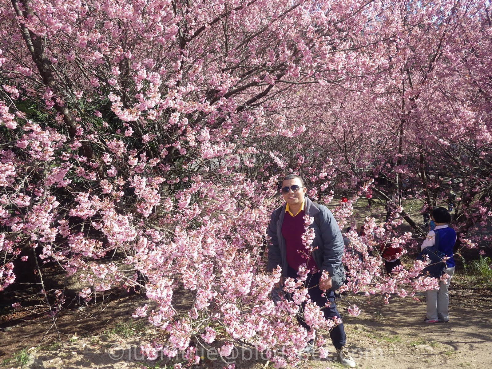 Taiwan Cherry Blossoms 2020 Ultimate Travel Guide: When