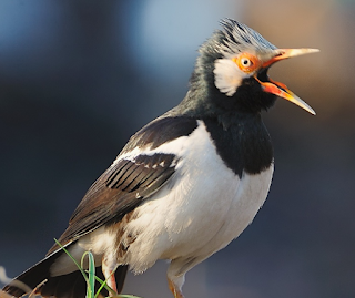 Daftar Harga Burung Jalak Suren Gacor