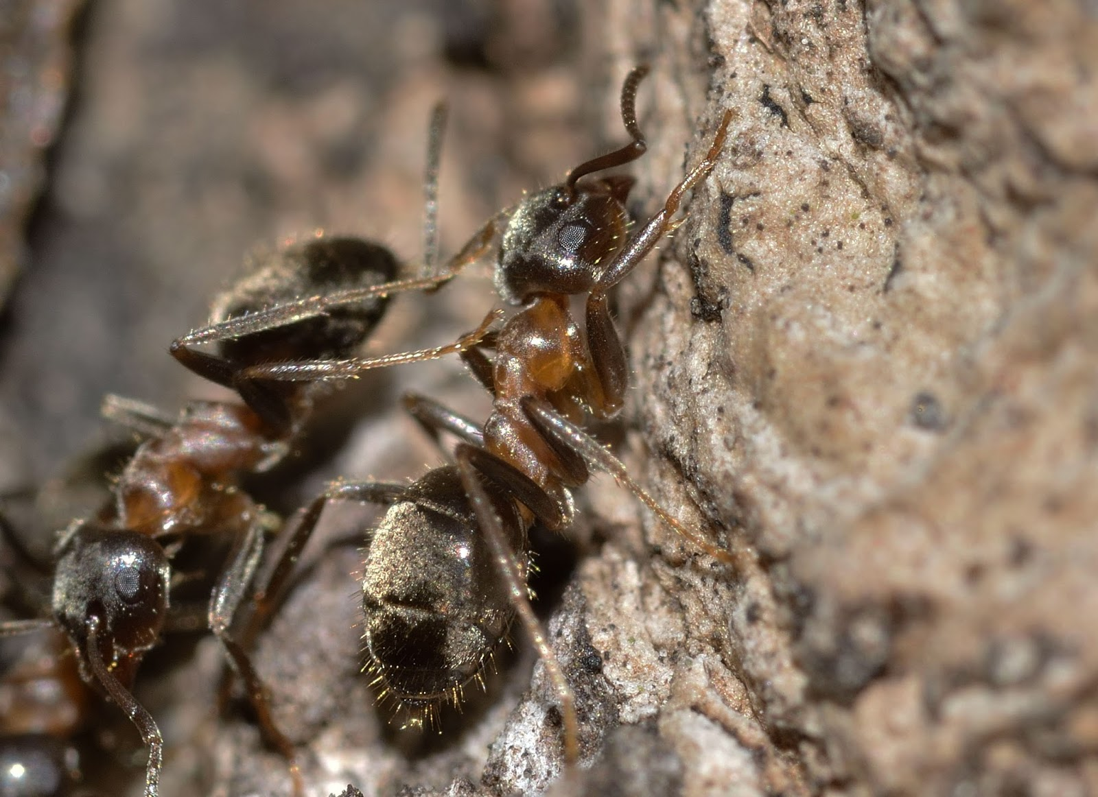 A picture of an ant cleaning another ant with her leg brushes.