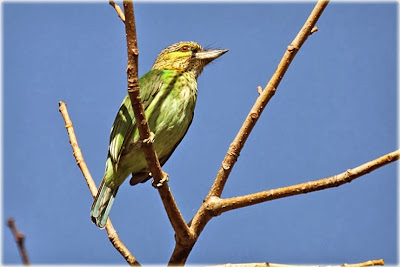 Barbudo orejiverde Megalaima Psilopogon faiostricta