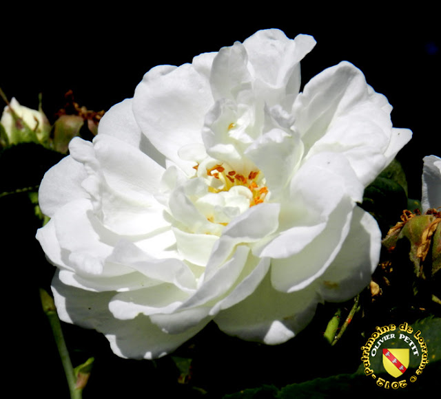 VILLERS-LES-NANCY (54) - La roseraie du Jardin botanique du Montet - Rosa alba maxima
