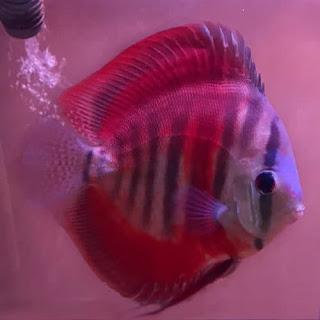 Jenis dan Harga Ikan Discus San Merah