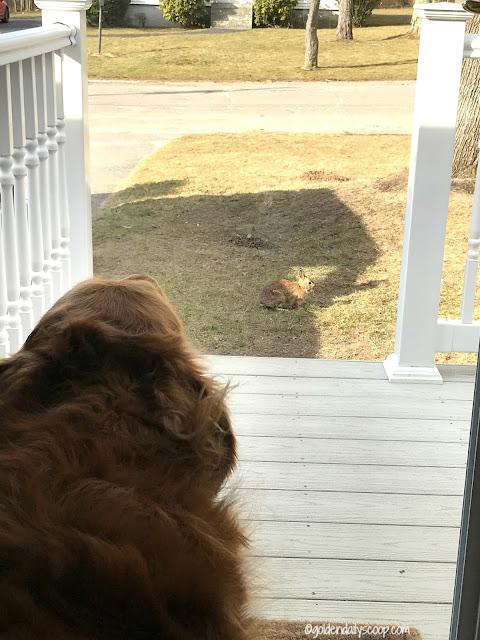 golden retriever dog barking at rabbit on lawn
