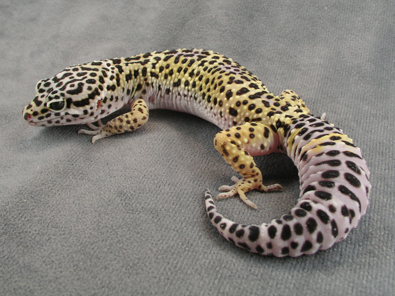 Gecko Pictures 11