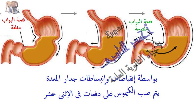 الجهاز الهضمى - الهضم فى المعدة – هضم كيميائى -  الكيلوس – مدونة أحمد النادى لأحياء الثانوية العامة