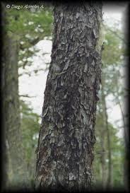 Nothofagus antarctica tronco