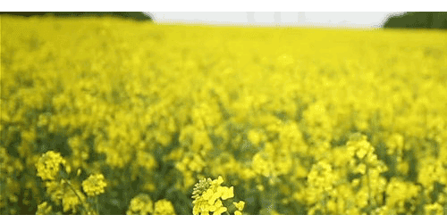 Know 7 interesting facts about canola oil