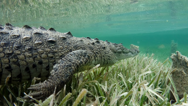 crocodile closeup from side
