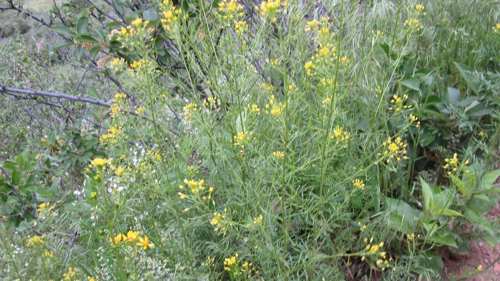 Innie Colorado Wildflowers Yellow
