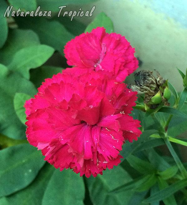 Flores de un Clavel, género Dianthus
