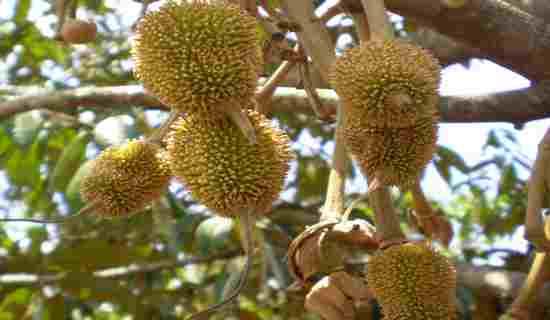 Okulasi Durian Dengan Mudah