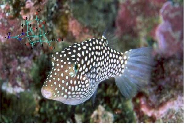 racun ikan buntal yang sangat mematikan bagi manusia