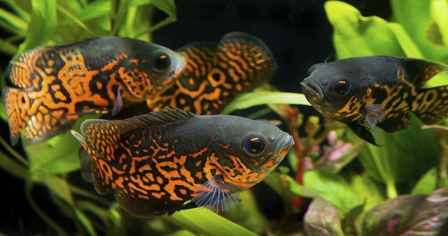 Ikan Oscar - Ikanhiasku