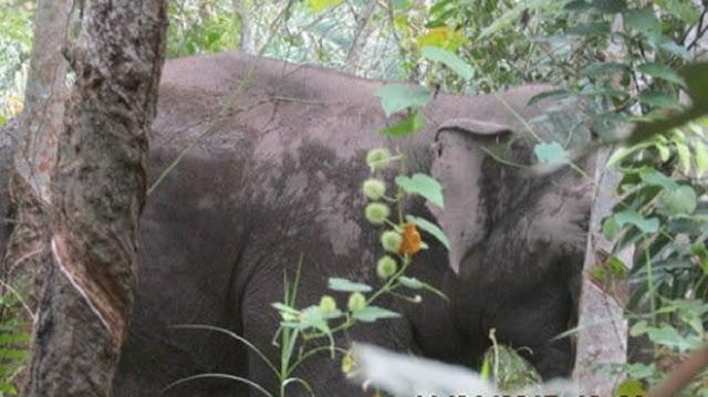 Gajah Dikabarkan Sakit Sejak Februari 2017, Ditemukan di Hutan Talang Duri Terluka dan Mengeluarkan Bau Busuk