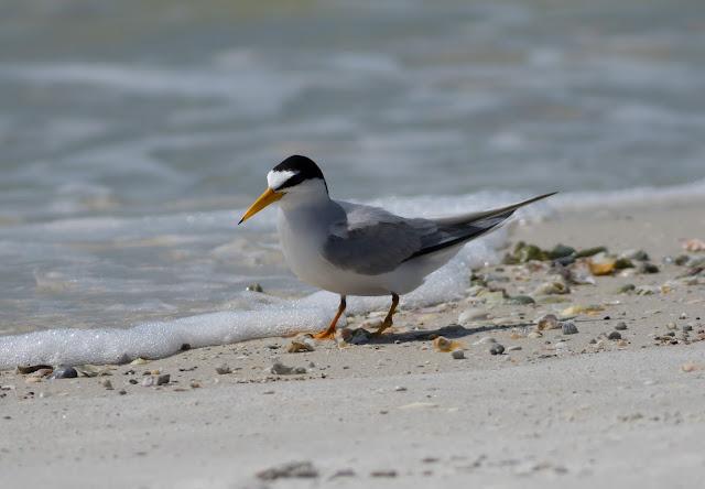 Least Tern - Carlos Pointe, Florida