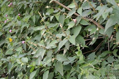 Tinajera (Croton lachnostachyus)