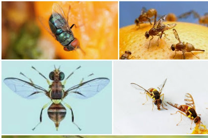 2 Cara Tepat Dalam Membasmi Lalat Buah Pada Tanaman