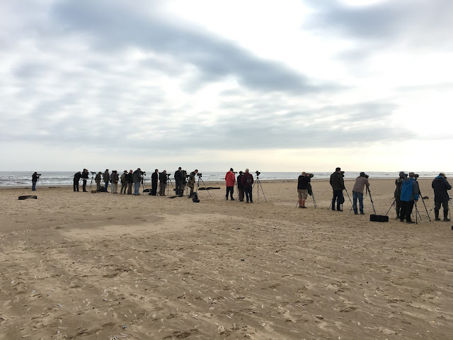 Great Knot Twitch - Titchwell RSPB, Norfolk