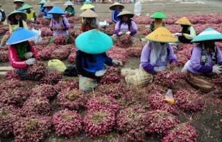 budidaya tanaman bawang merah, bertanam bawang merah, pembibitan bawang merah, benih bawang, jual bibit bawang merah super, budidaya bawang, pertanian bawang merah, jual bibit bawang merah unggul,