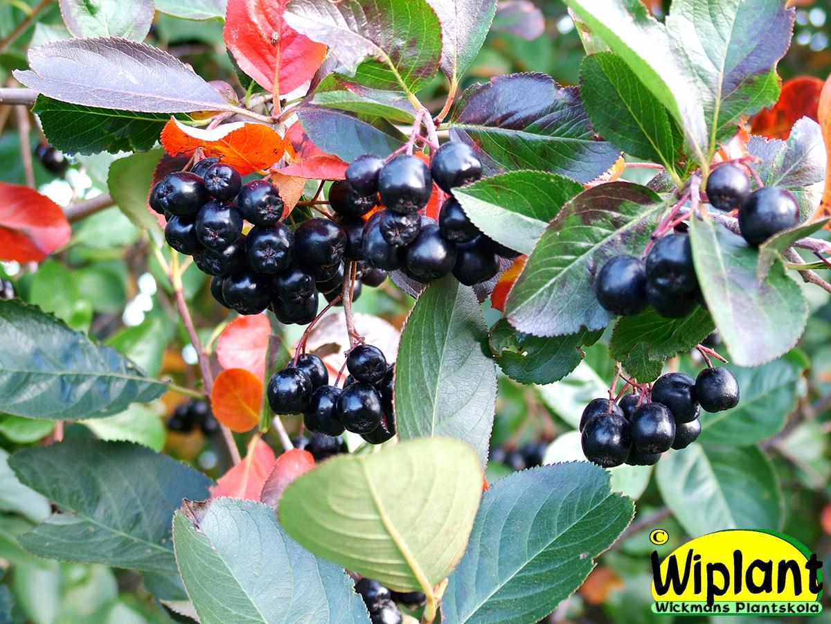 buskar med ätbara bär