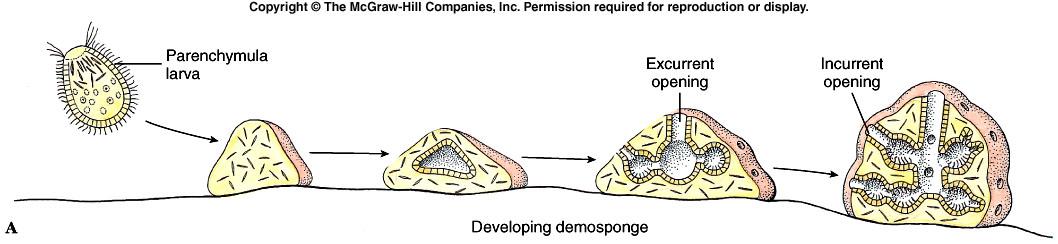 Esponjas de mar reproduccion asexual fision
