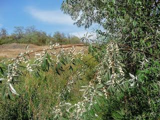 Регіональний ландшафтний парк «Клебан-Бик». Маслинка срібляста