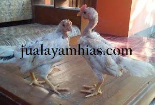 Ayam Ketawa Usia 1 Bulan