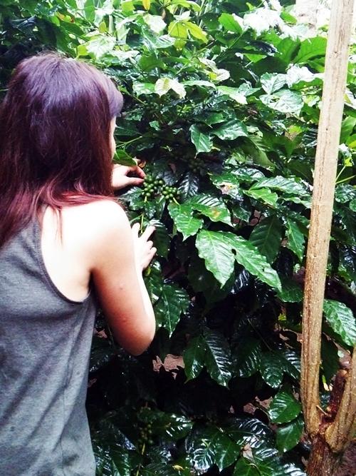 病気もなくすくすくと元気に育つコーヒー豆を確かめています