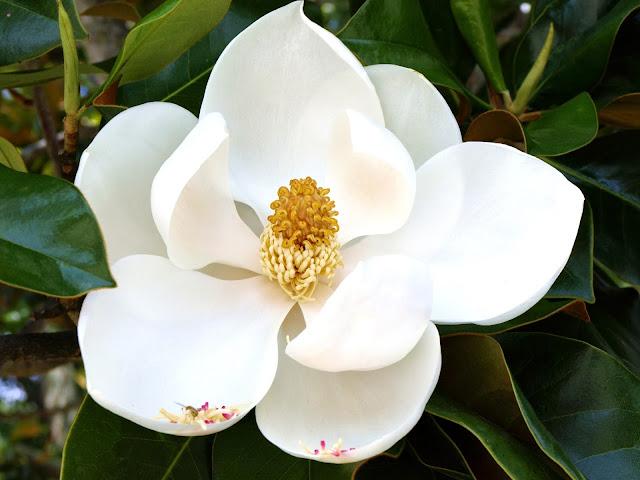 Resultado de imagem para flor magnoliabranca