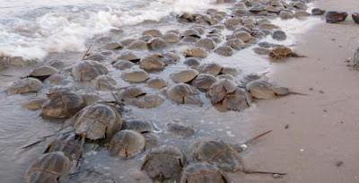 Horseshoe crab - mating season