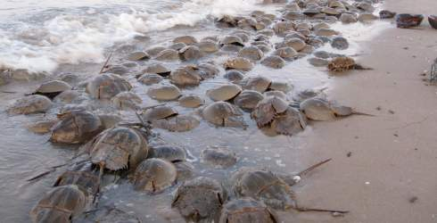 Horseshoe crab - mating season