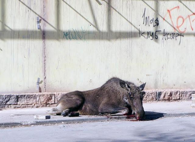 В Уфе на улице появился окровавленный лось Фото и Видео