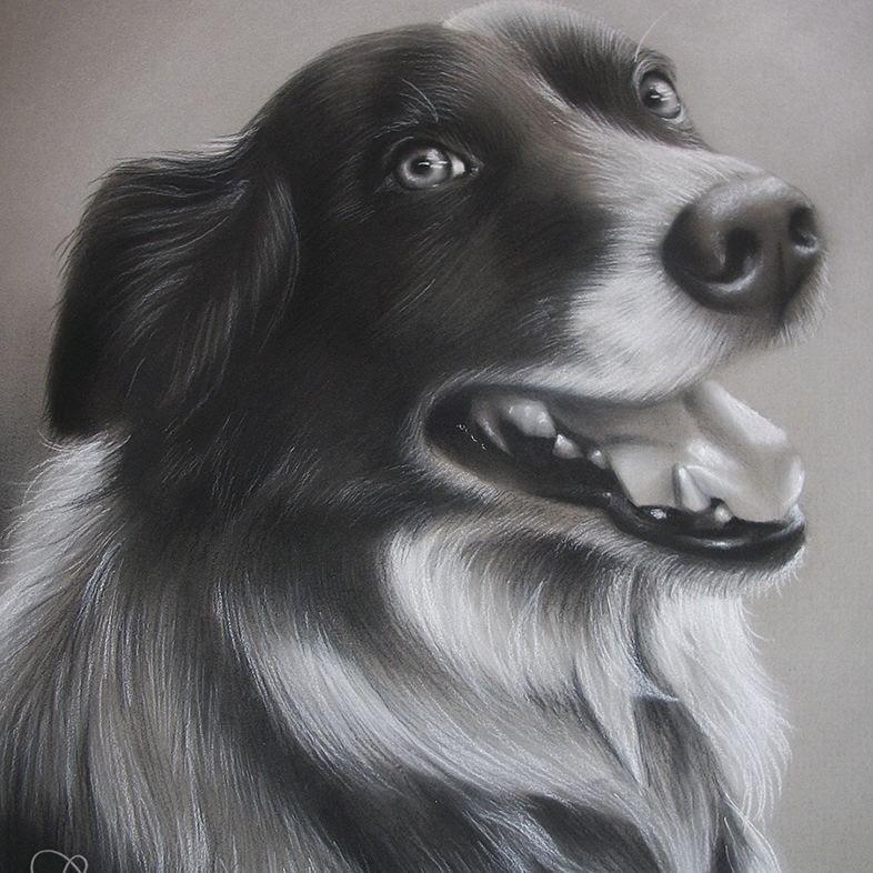 06-Border-Collie-Alaina-Ferguson-Animal-Portraits-Cats-Dogs-and-a-Guinea-Pig