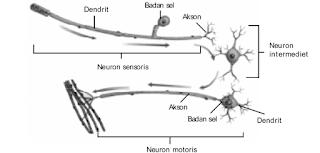 Berdasarkan struktur dan fungsinya, neuron dibagi menjadi neuron sensoris, neuron intermediet, dan neuron motoris.