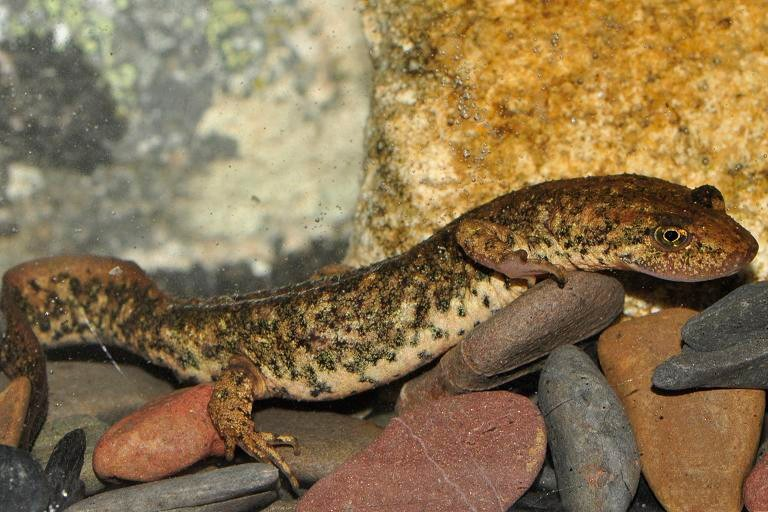 Amphibians: Sardinian Brook Newt - Euproctus platycephalus