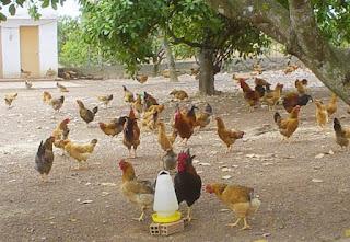 Bình Phước: thí điểm xây dựng vùng, cơ sở an toàn dịch bệnh đối với gà