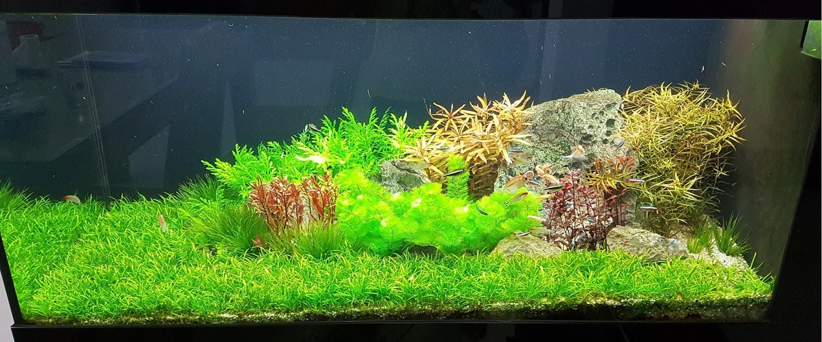 Cây thủy sinh hoàng quang thảo mini