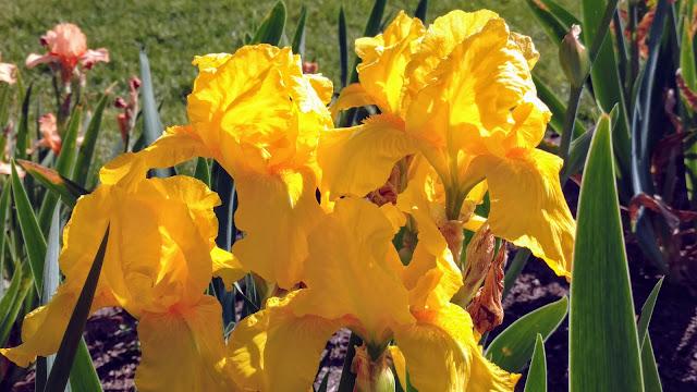 Півники. Ботанічний сад Пресбі. Монтклер. Нью-Джерсі (Presby Memorial Iris Gardens, Montclair, NJ)