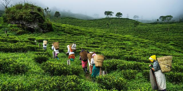 Darjeeling tea Garden in Kurseong