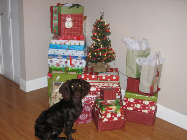 Boykin Spaniel in front of Christmas Presents | The Lowcountry Lady