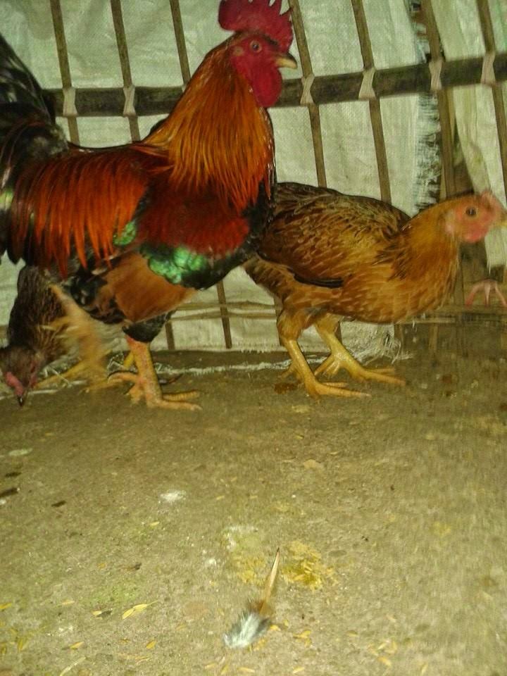 địa chỉ bán gà chín cựa thuần chủng