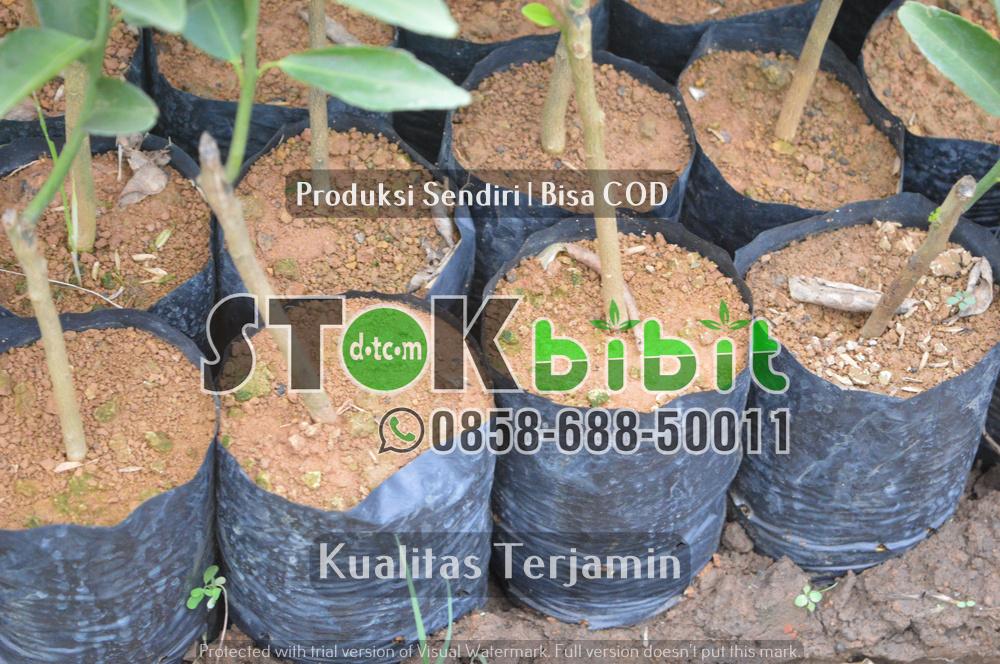 Durian Bawor   Jual Bibit Durian Bawor   Bhineka Bawor    Grosir       Unggul